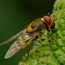 Een zweefvlieg met draaiende kop