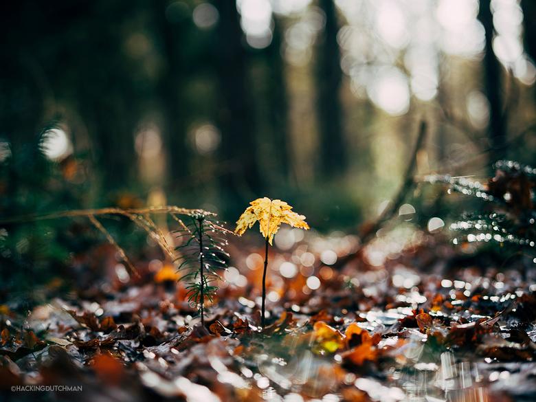 Kleine herfst - De eerste herfst voor dit jonge boompje.<br /> <br /> <br /> <br /> ©MotionMan 2020