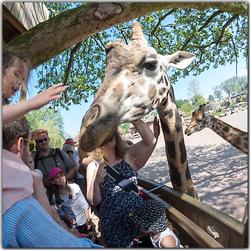 Giraf gezien door een fish-eye