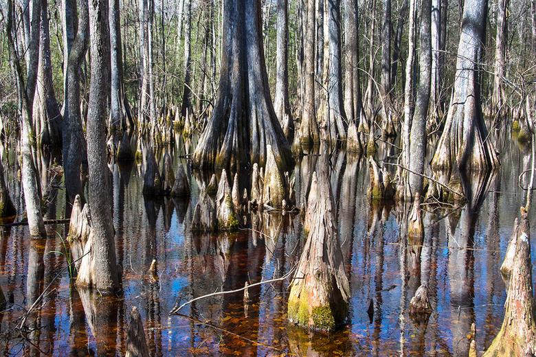 mangrovebos Wakulla springs