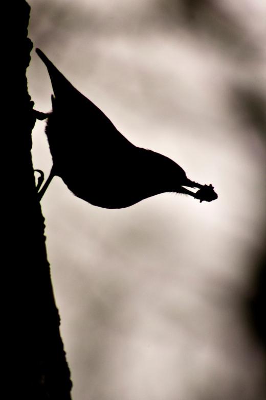 boomklever silhouet - Deze boomklever liet zich in tegenlicht fotograferen in het bos bij Ugchelen, nabij Apeldoorn op de Veluwe. Het is een beweeglij