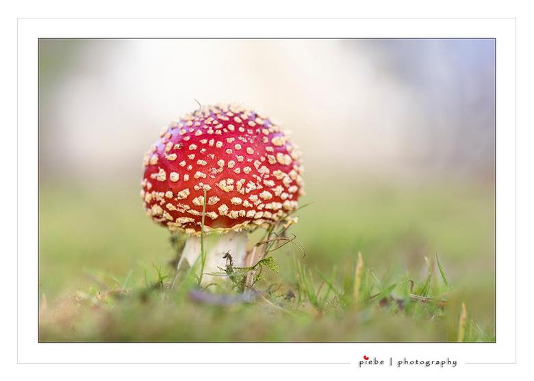 """Shining - Deze rood met witte stippen paddenstoel stond heel mooi te schijnen in het licht.<br /> <br /> Groet  <a href=""""http://www.piebevandenberg."""