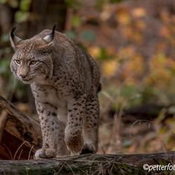 Lynx 4 72dpi