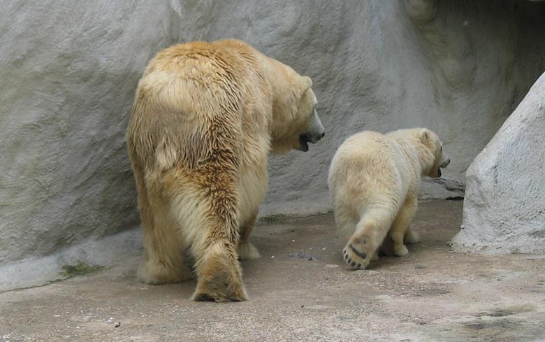 Zo moeder zo zoon - Een ijsberenmoeder met haar jong die gelijktijdig dezelfde beweging maakten. Ouwehands Dierenpark Rhenen