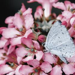 Vlinder-Boomblauwtje