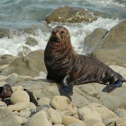 Nieuw Zeelandse zeehond geniet van de zon
