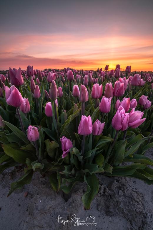Bosje tulpen  -