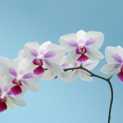 Phalaenopsis Lowland Star