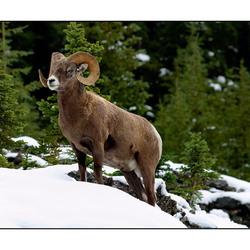 bighornsheep Canada BC