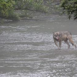 Wolf in rivier in de mist