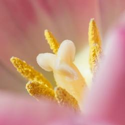 Tulpen hart