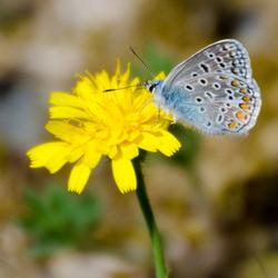 Toscaans vlindertje