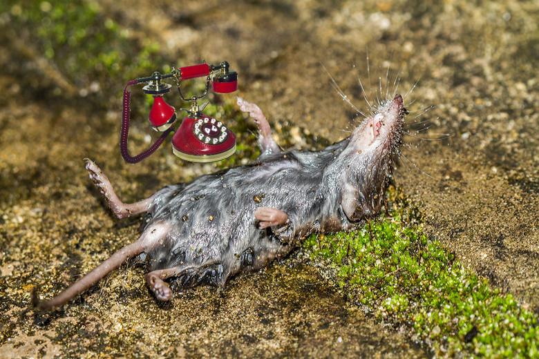 Even Apeldoorn bellen - Deze spitsmuis lag vanochtend voor mijn achterdeur. Een cadeautje van Lia onze boskat. Ik heb er maar een grapje mee uitgehaal
