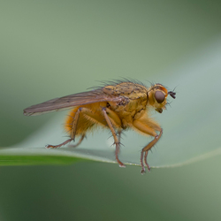 Strondvlieg (Scathophaga stercoraria)