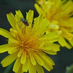 Insect op gele bloem.