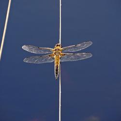 libelle boven het veenven