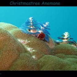Christmastree anemone