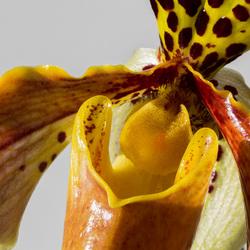 Kelk orchidee