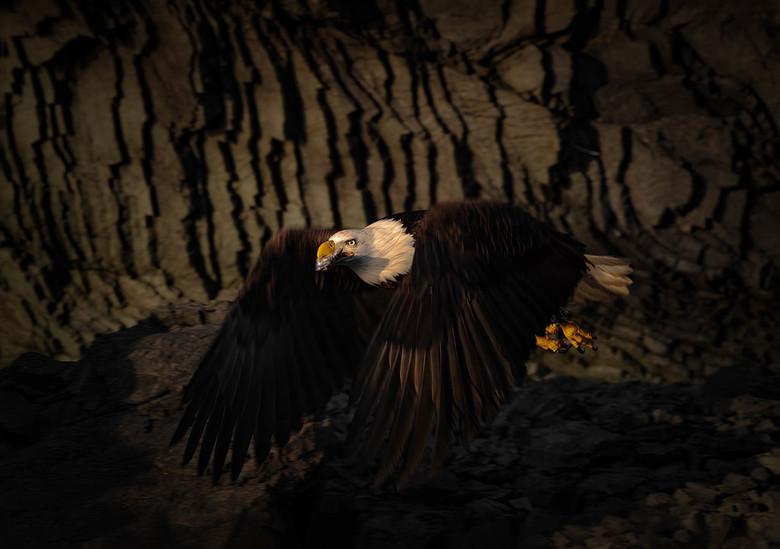 Amerikaanse zeearend - Deze zeearend vloog laat in de middag langs een mooie donkere rotsformatie in Homer, Alaska.