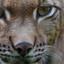 Lynx in detail - Anholter Schweiz