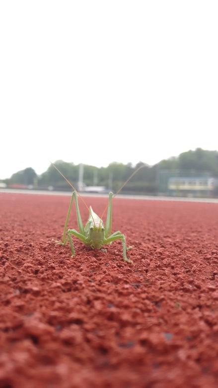 Sprinkhaan - Ik zag een sprinkhaan zitten op de atletiekbaan, dus ik nam een foto.
