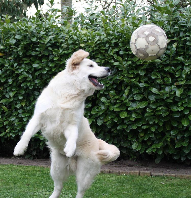 Vangen - Van de druppels weer naar een actie foto<br /> Kopbal van onze hond (Floyd)<br /> <br /> Exif:<br /> Sluitertijd - 1/640 sec.<br /> ISO