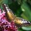 Parthenos sylvia Tijgervlinder