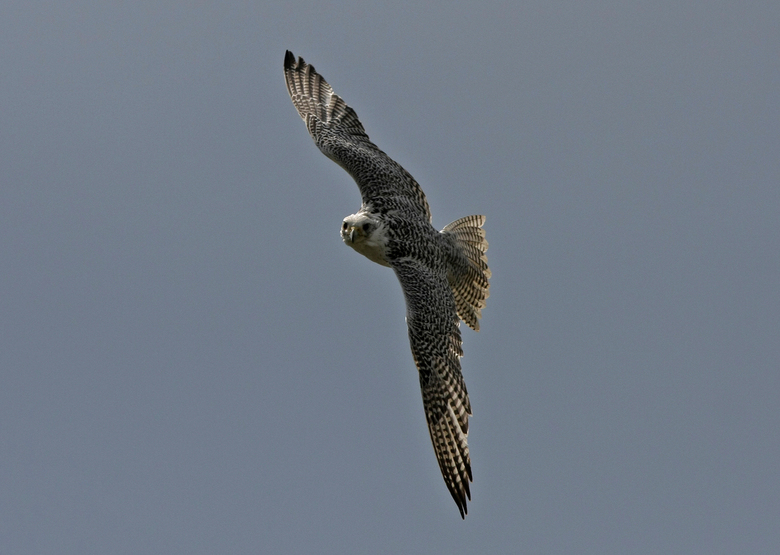 Valk - Roofvogelshow Aardhuis Apeldoorn