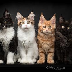 Feline Fantasy Kittens
