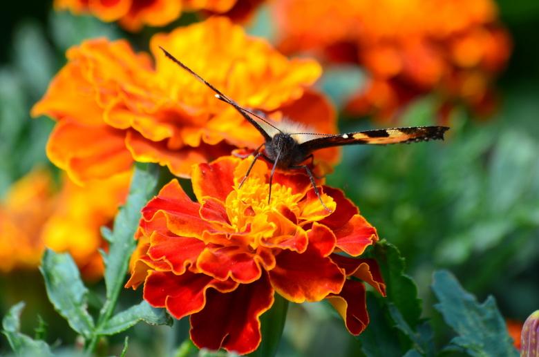 vlinder - vlinder op afrikaantje