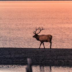 Een elk in de avondzon