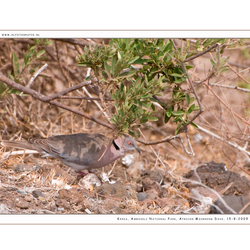 African Mourning Dove, Kenia