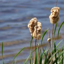 Rietsigaren aan de waterkant
