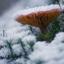Paddenstoelen in de sneeuw