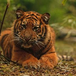 Jonge Sumatraan.