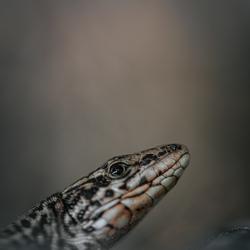 Hi Lizard.