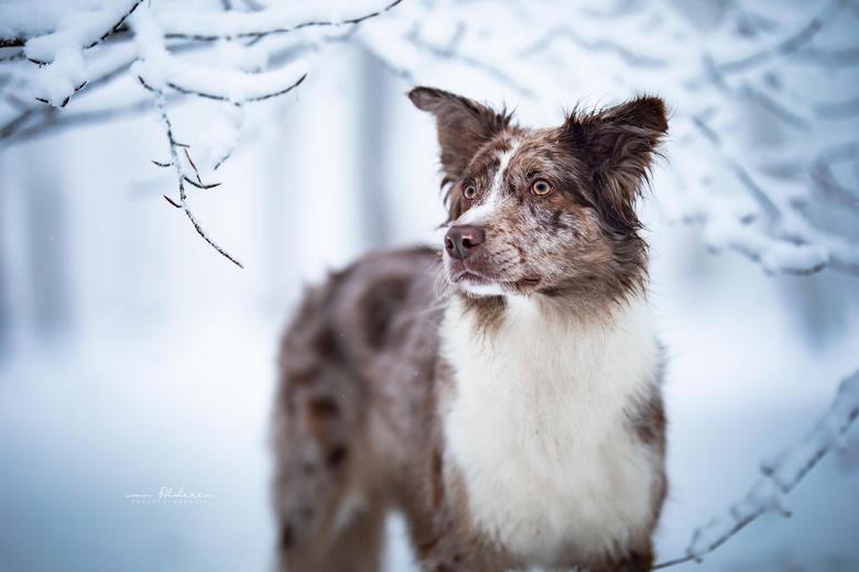 Faya - Een portret van Border Collie Faya in de sneeuw. Tegenwoordig een bijzonder moment, des te meer genoot ik vanochtend van een prachtige wandelin