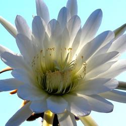 Echinopsis (Trichocereus) pachanoi