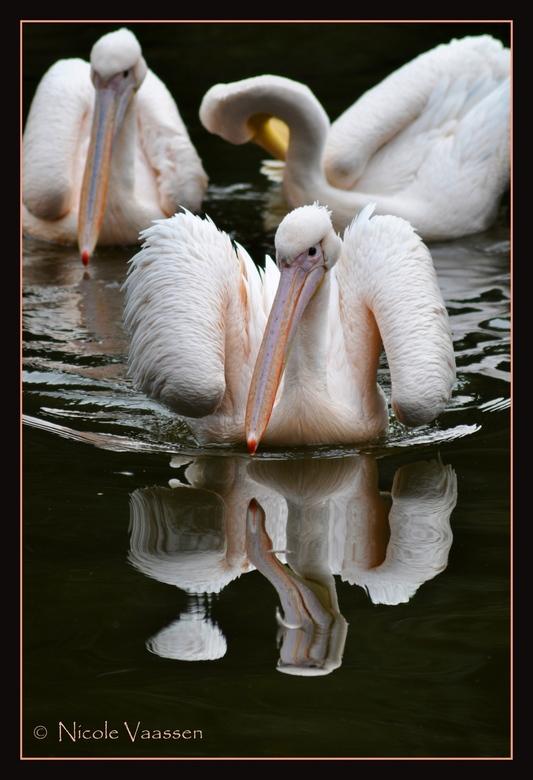 Pelikaan - pelikanen uit de dierentuin van Liberec.