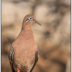 Galápagos-duif
