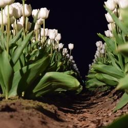 Tulpenpracht bij Nacht (Drenthe)