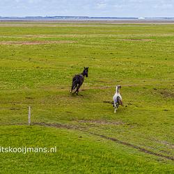 Paard en veulen in het Noarderleech natuurgebied