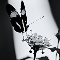 Vlinderin zwartwit
