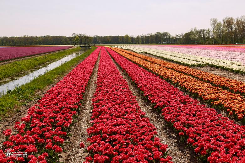 Bollenstreek - Tulpenvelden in alle soorten en kleuren vlakbij de Keukenhof in Lisse.