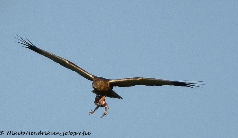 roofvogel met prooi