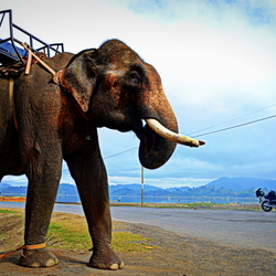 Elephant in Vietnam