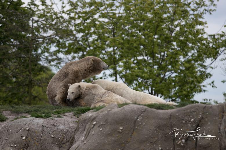 IJsberen - Ursus maritimus