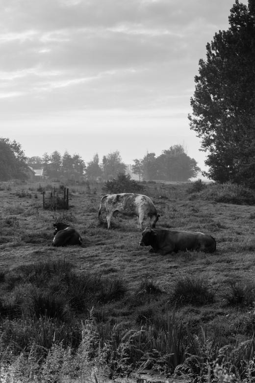 koeien in de mist - vroeg de polder in dan is het nog stil.<br /> een de koeien zijn nog niet actief.<br /> en er is geen verkeer in de polder.