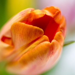 tulp oranje