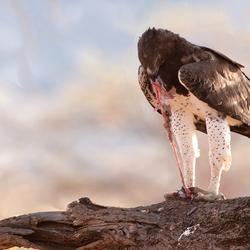 Martial Eagle 3, Kenia